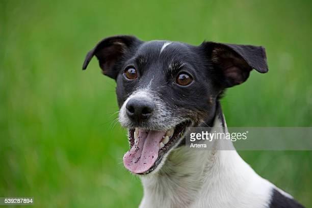 Jack Russell terrier portrait in garden