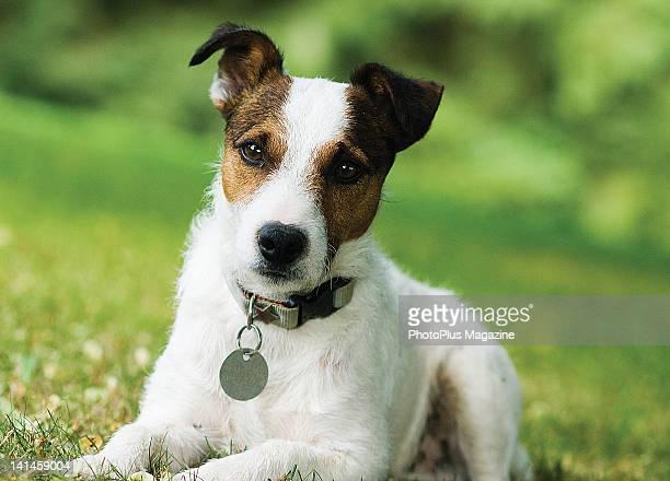 Jack Russell Terrier pup, taken on July 20, 2008.