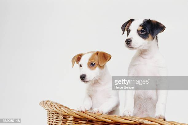 Jack Russell Terrier puppies in basket