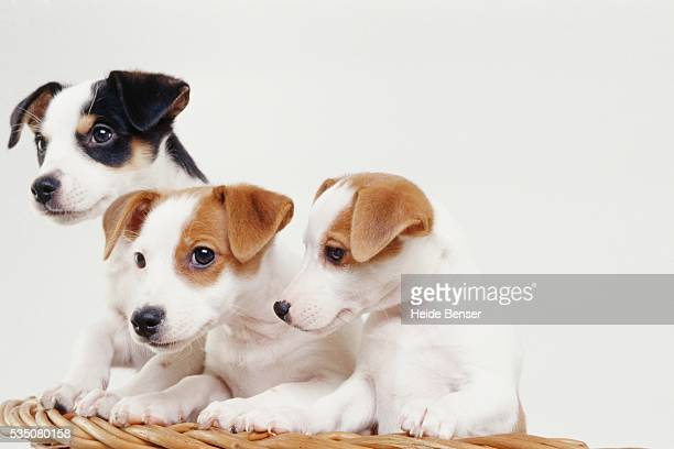 jack russell terrier puppies in basket - terrier stock pictures, royalty-free photos & images