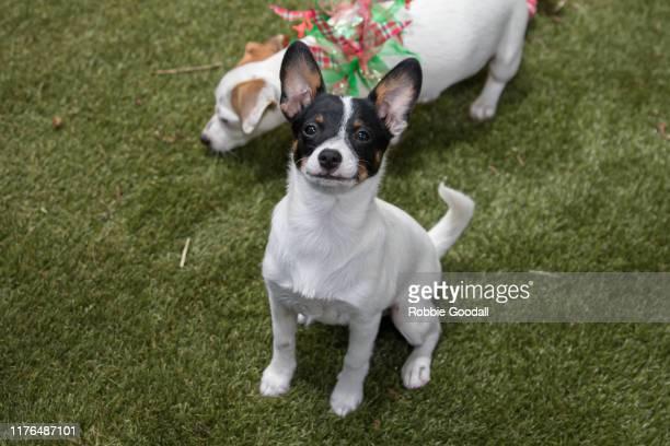 jack russell terrier puppy looking at the camera - robbie jack stock-fotos und bilder