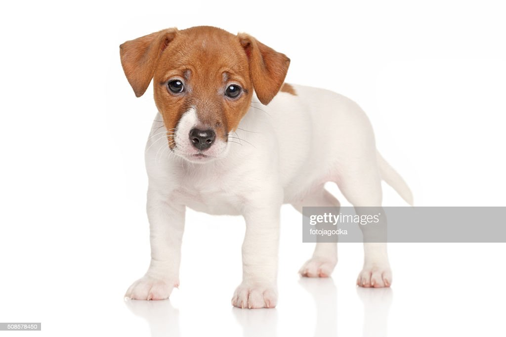 Jack russell terrier puppy : Stock Photo