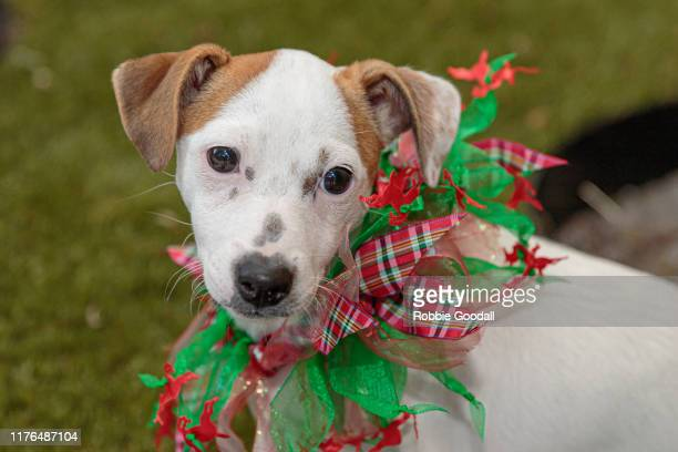 jack russell terrier puppy wearing a red and green christmas collar - robbie jack stockfoto's en -beelden