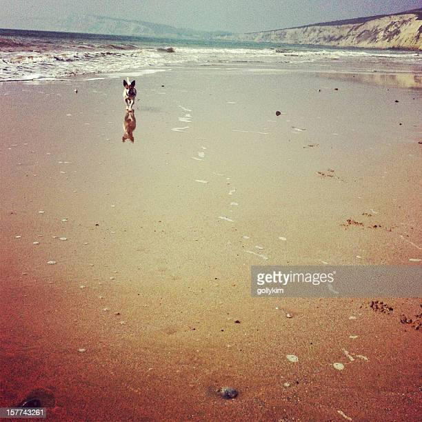 Jack Russell Terrier running on the beach