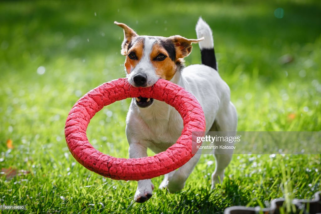 Jack Russell Terrier Running Witn Toy Stock Photo - Getty Images