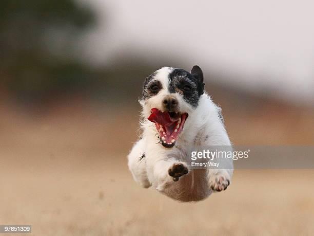 A Jack Russell Terrier runs