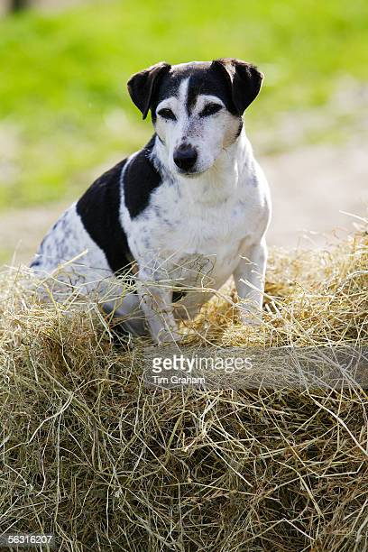 Jack Russell terrier sits on a pile of hay, England, United Kingdom.