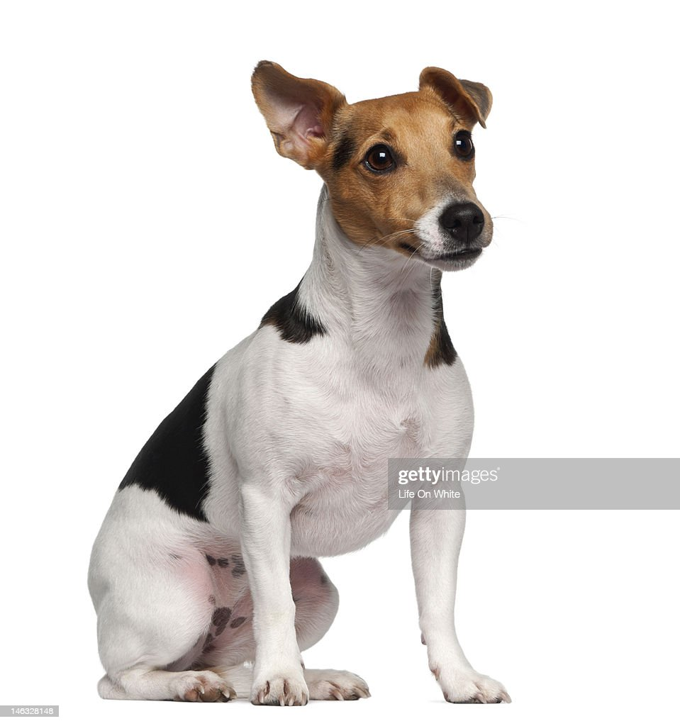 Jack Russell Terrier (1 year old) sitting : Stock Photo