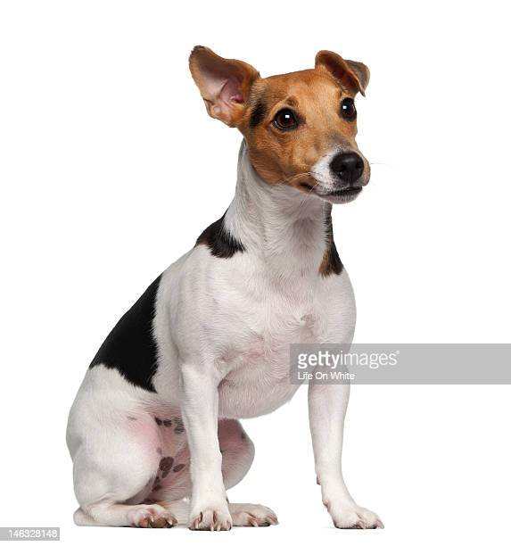 jack russell terrier (1 year old) sitting - jack russell terrier stock photos and pictures