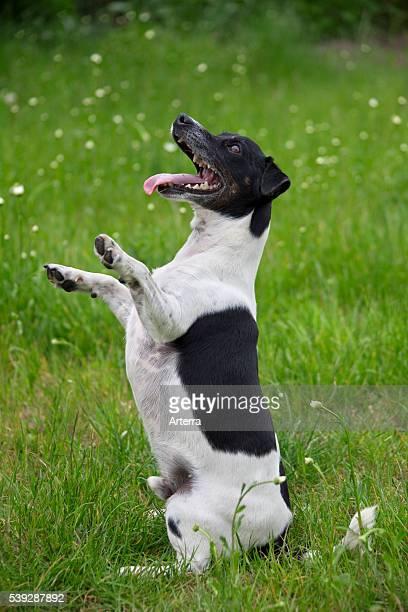 Jack Russell Terrier sitting upright in garden