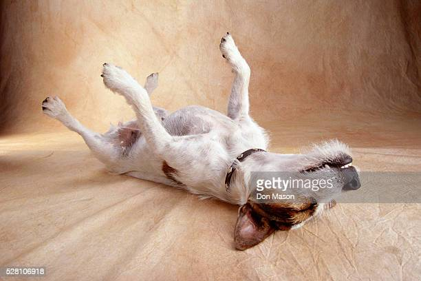 jack russell terrier sleeping on back - jack russell terrier stock photos and pictures