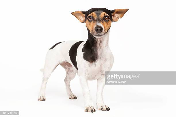60 Top Jack Russell Terrier Pictures, Photos, & Images