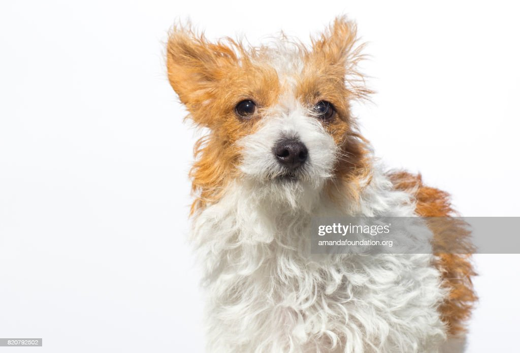 Close-up shot of 'Willow,' a Jack Russell Terrier looking at the camera on a white background. By using this photo, you are supporting the Amanda Foundation, a nonprofit organization that is dedicated to helping homeless animals find permanent loving homes.