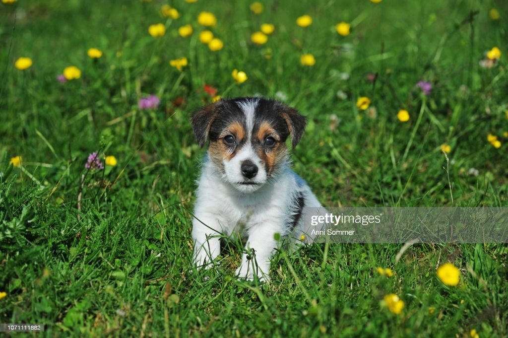 Jack Russell Terrier, tricolor, puppy 7 weeks, sitting in flower meadow, Austria : Stock Photo