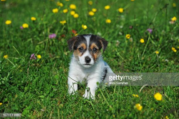 jack russell terrier, tricolor, puppy 7 weeks, sitting in flower meadow, austria - jack russell terrier stock photos and pictures