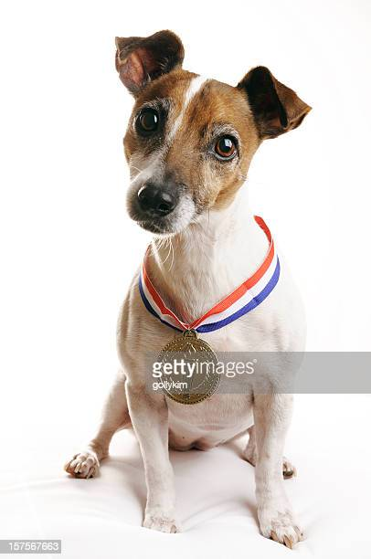 Jack Russell Terrier mit Gold Medal