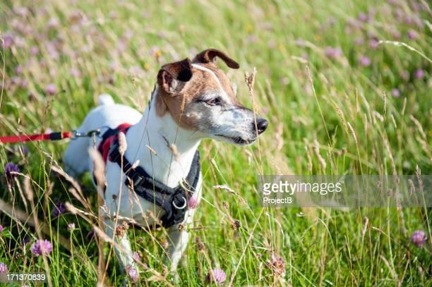 ジャックラッセルテリアとハーネスと芝生のロングリード - アフィントン ストックフォトと画像