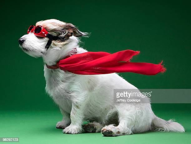 jack russell terrier with scarf and goggles - flying goggles stock pictures, royalty-free photos & images