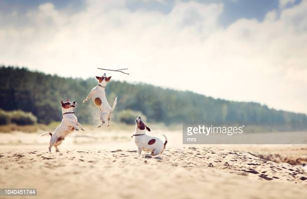 jack russell terriers catching stick - three animals stock pictures, royalty-free photos & images