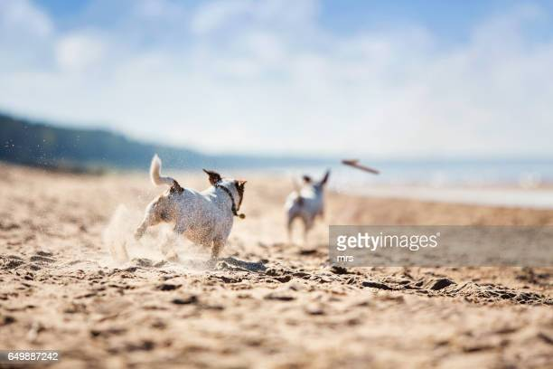 Jack russell terriers catching stick
