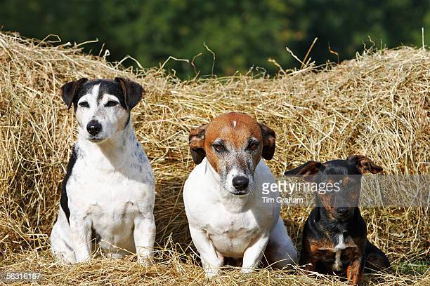 Jack Russell terriers sitting on a bed of hay, England, United Kingdom.