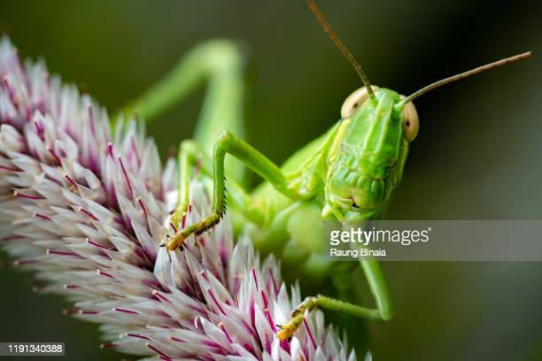 jack the grasshopper - cricket insect stock pictures, royalty-free photos & images