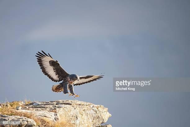 Jackal Buzzard or Augur Buzzard (Buteo rufofuscus) landing on a rock, Giants Castle Nature Reserve, South Africa