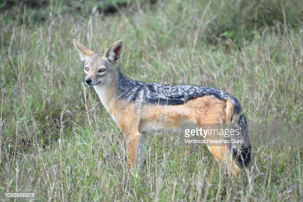 jackal, masai mara - wild dog stock pictures, royalty-free photos & images