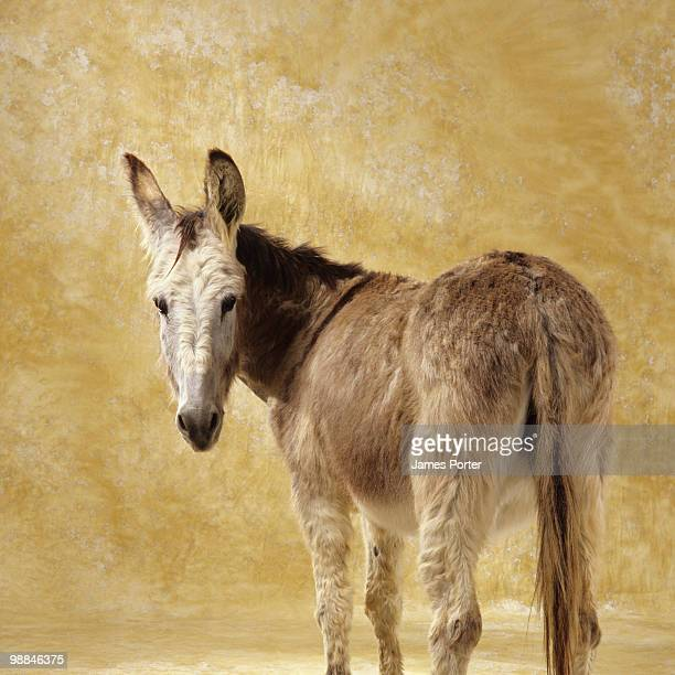 jackass in studio looking over shoulder - jackass images stock pictures, royalty-free photos & images