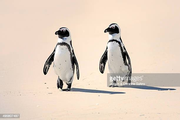 Jackass Penguin, Black-footed Penguin or African Penguin -Spheniscus demersus-, pair on the beach, Boulder, Simon's Town, Western Cape, South Africa