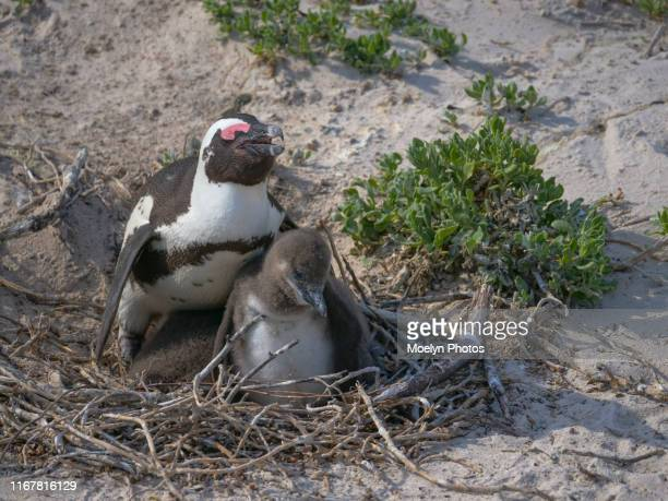 jackass penguin parent and young - african penguin stock pictures, royalty-free photos & images
