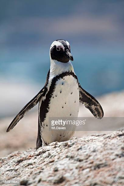 jackass penguin - african penguin stock pictures, royalty-free photos & images