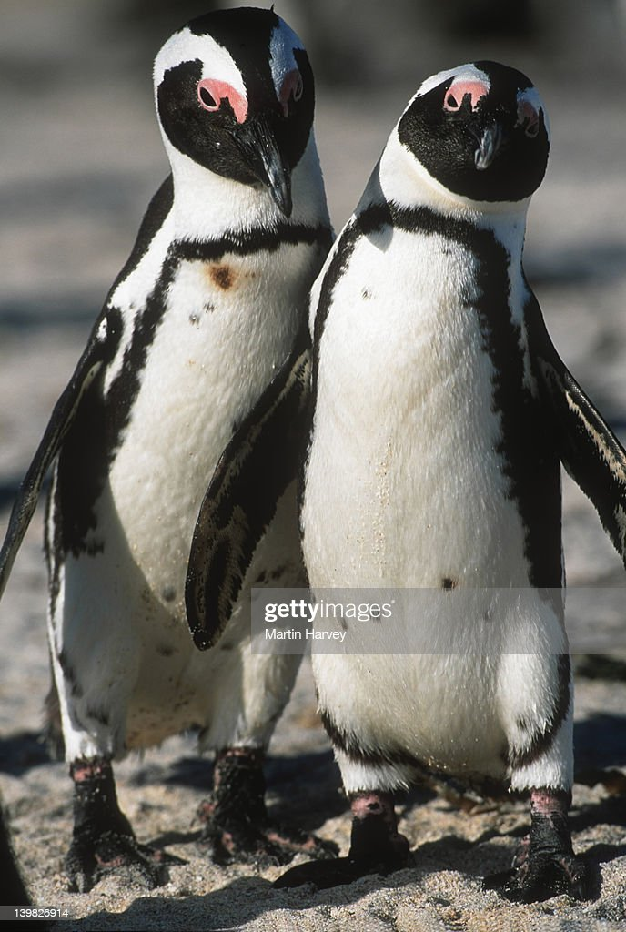 Jackass Penguin Spheniscus demersus Male & female in mating ritual. Endangered Dassen Island, South Africa South-Western African coast and islands © : Stock Photo