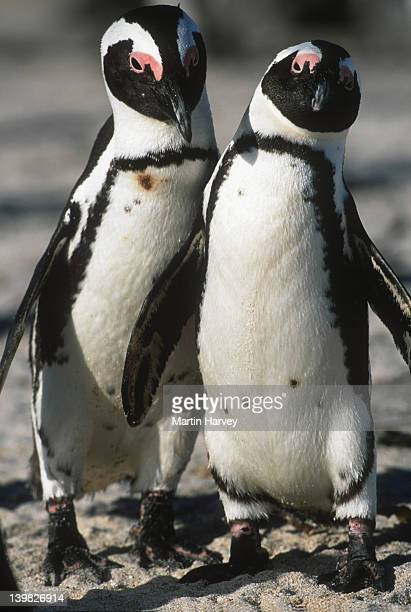 Jackass Penguin Spheniscus demersus Male & female in mating ritual. Endangered Dassen Island, South Africa South-Western African coast and islands ©