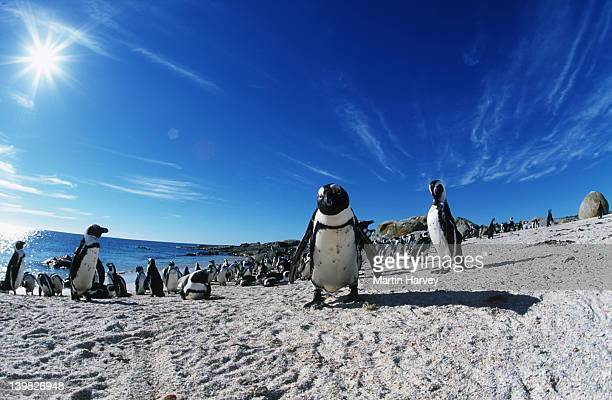 jackass penguin spheniscus demersus rest on the beach after returning from feeding at sea. endangered dassen island, south africa south-western african coast and islands â© - african penguin stock pictures, royalty-free photos & images