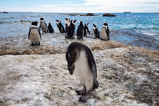 Jackass penguins roaming freely along the coast. Their cuteness capture tourists' heart. 993102098