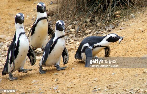 Jackass Penguins Walking On Beach