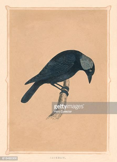 Jackdaw' c1850 From Bible Natural History containing a Description of Quadrupeds Birds Trees Plants Insects Etc Mentioned in the Holy Scriptures by...