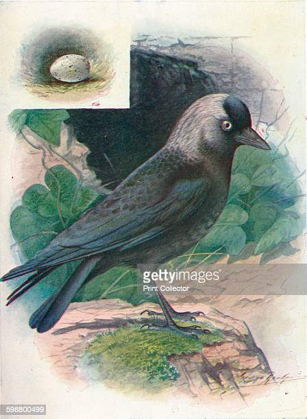 Jackdaw Corvus monedula circa 1910 From Britains Birds and Their Nests by A Landsborough Thomson [The Waverley Book Company Limited W R Chambers...