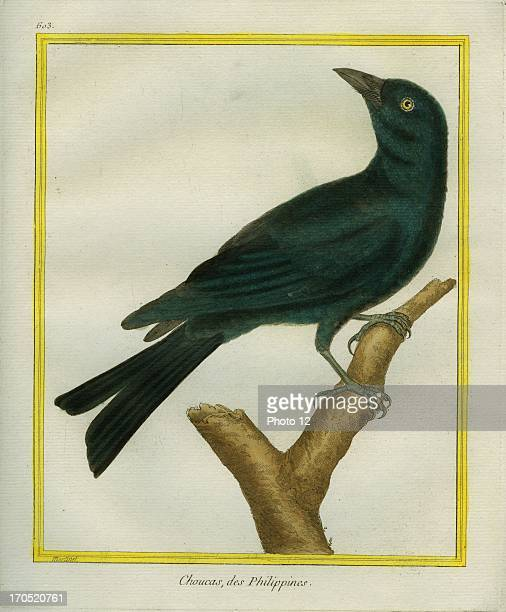 Jackdaw Corvus monedulaJackdawGeorgesLouis Leclerc Comte of Buffon 'Natural History of birds fish insects and reptiles' coloured and engraved by...