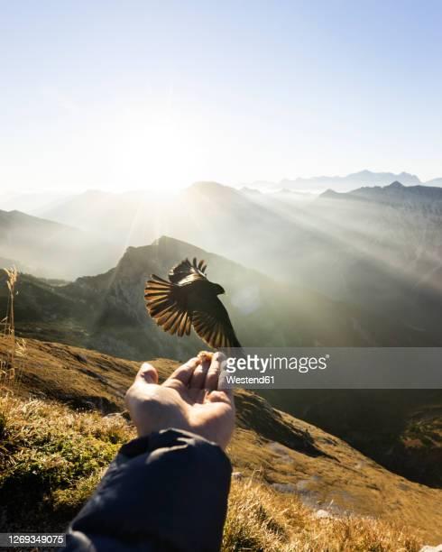 jackdaw flying in front of hand with food, hochplatte, bavaria, germany - alleen één mid volwassen man stockfoto's en -beelden