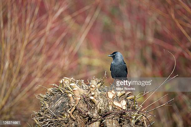 Jackdaw (Corvus monedula) perched on clipped branches, Norfolk, UK