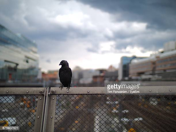 Jackdaw Perching On Fence At Stockholm Central Station