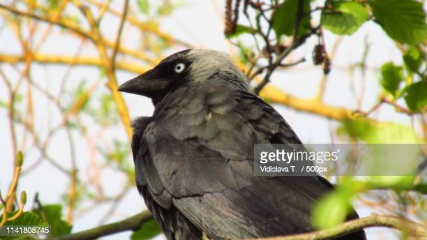 jackdaw - forens stock pictures, royalty-free photos & images