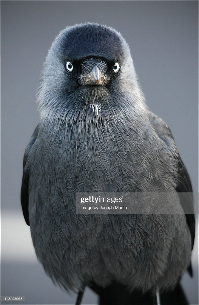 Jackdaw - : Stock Photo