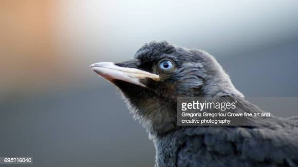 jackdaw - gregoria gregoriou crowe fine art and creative photography stock pictures, royalty-free photos & images