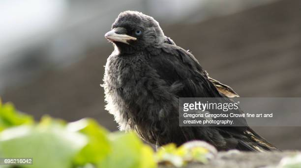 jackdaw - gregoria gregoriou crowe fine art and creative photography. stock pictures, royalty-free photos & images