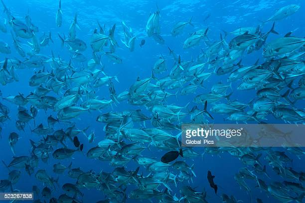 Jackfish - Palau, Micronesia