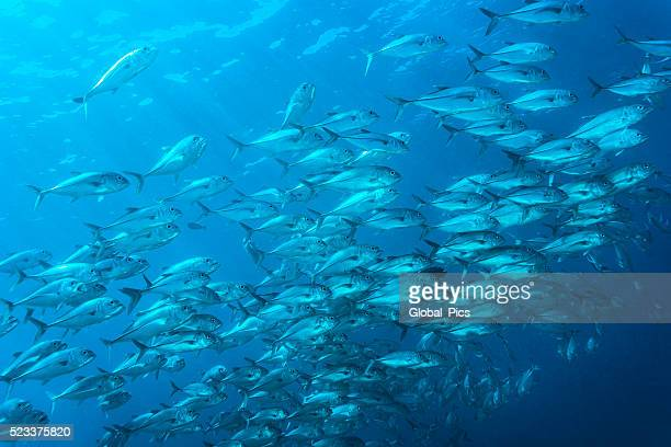 jackfish - palau, micronesia - jack fish stock pictures, royalty-free photos & images