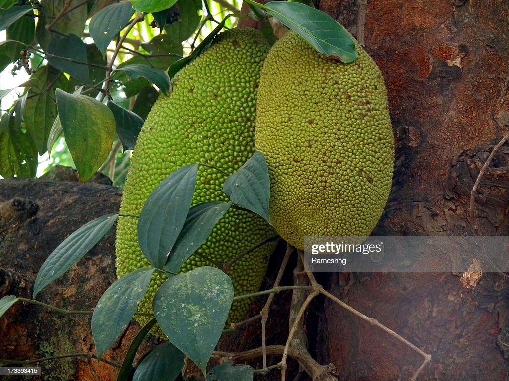 Jackfruit from Kerala : Stock Photo